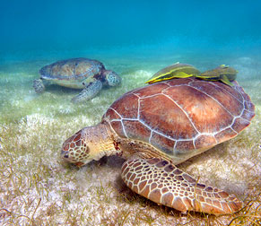 Two sea turtles going for a daily swim in Akumal Bay