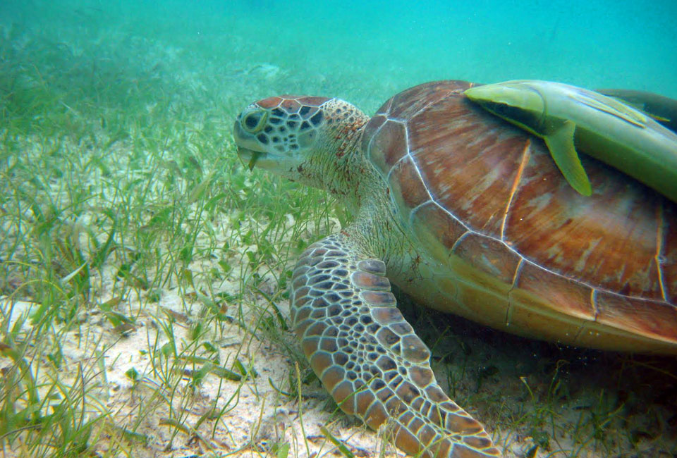 The Sea Turtles are hidden gems underneath the sea in Akumal